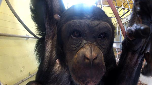 Het Chimpansee Complex